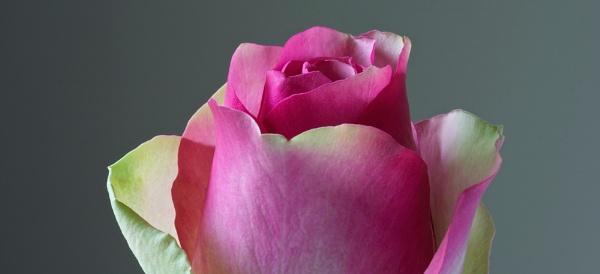 Pink Rose 2 by Mrpepperman