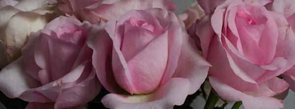 Roses by Mrpepperman