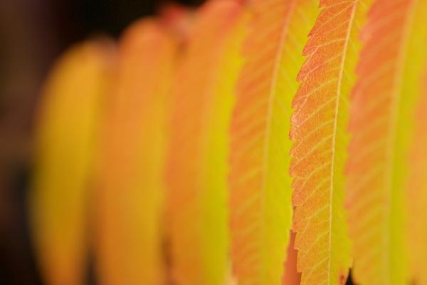 Golden Leaves by Mrpepperman