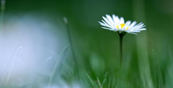 Daisy by Mrpepperman
