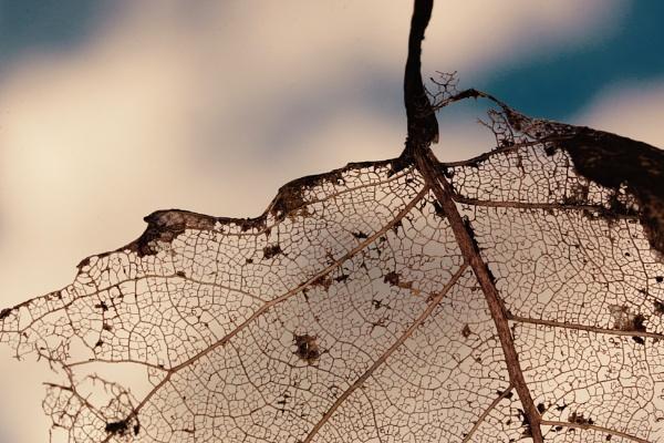 Skeleton of a Leaf by Mrpepperman