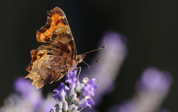 Delicate Wings by Mrpepperman