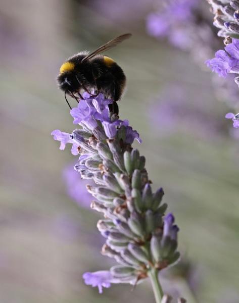 The call of Lavender Nectar by Mrpepperman