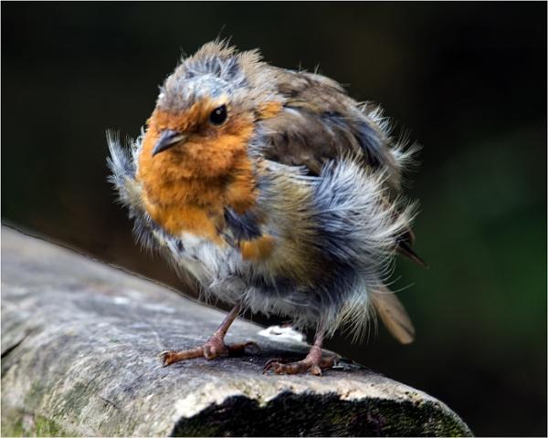 Scrufy Robin by dven