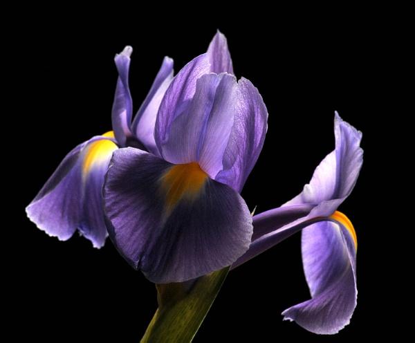 Iris by viscostatic