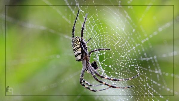 Grass Cross Spider by ferozeqasim