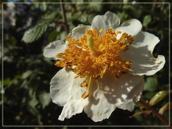 wild rose by CarolG