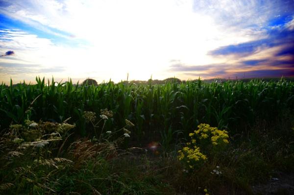 Corn Field by tony28