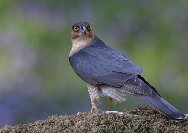 Sparrowhawk by NeilSchofield