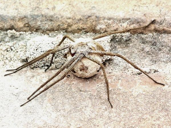 Nursery web spider 2 by stevept