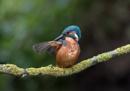 Kingfisher preening by NEWMANP