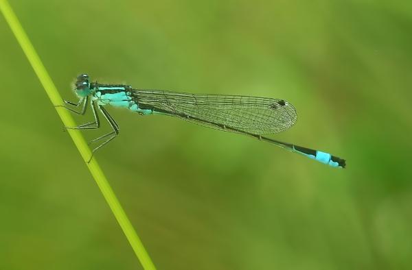 Blue-tailed damselfly by TonyDy