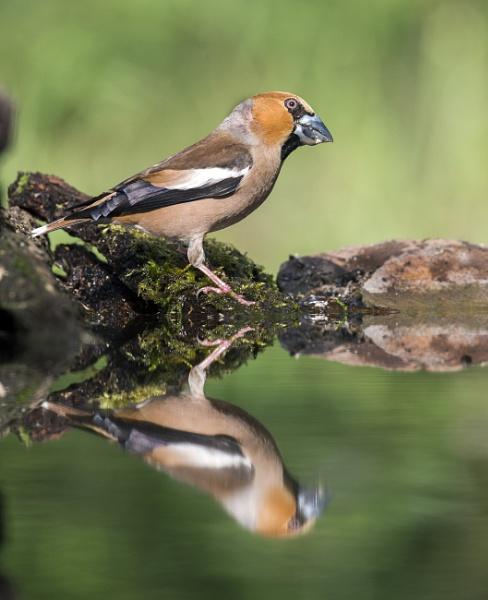 Hawfinch by hasslebladuk
