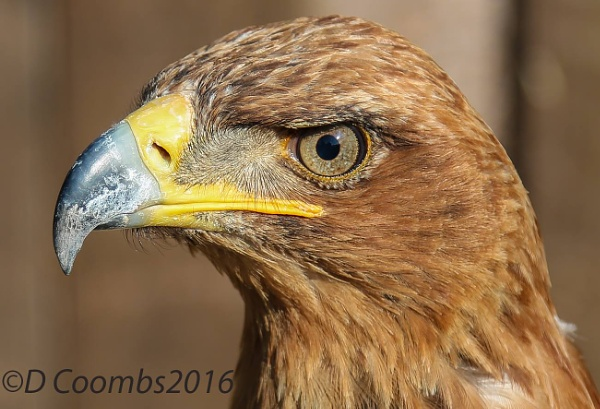 Tawny Eagle by bailey73