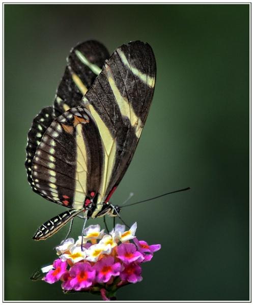 Zebra Longwing......I think (6) by PhilT2