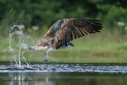 Osprey - Missed!!!