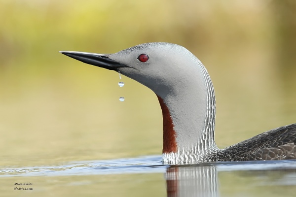 RED THROATED DIVER by DeanEades