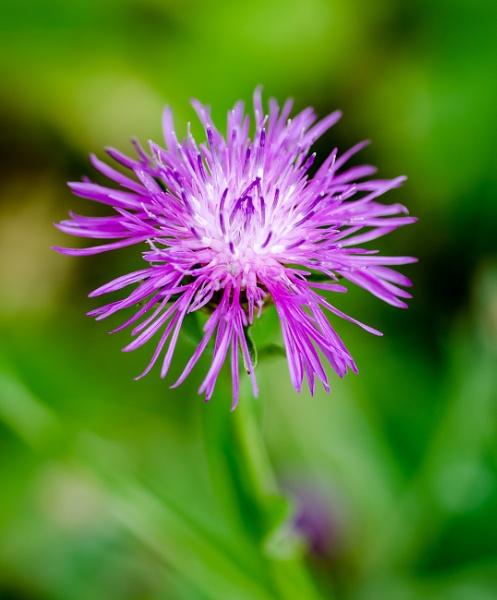 Centaurea Dealbata by chavender