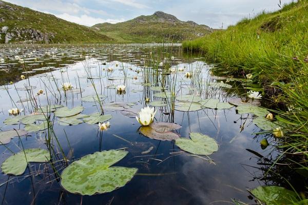 Lochan lilies by alansnap