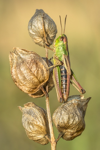 Meadow Grasshopper by BydoR9