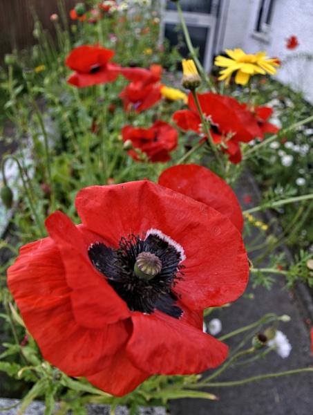 Poppies by ANNDORASBOX