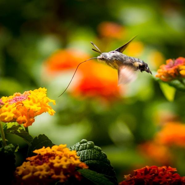 Hummingbird Hawkmoth by 2479