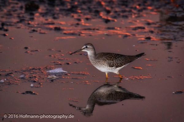 Last light of the day - Lesser Yellowleg by drbird