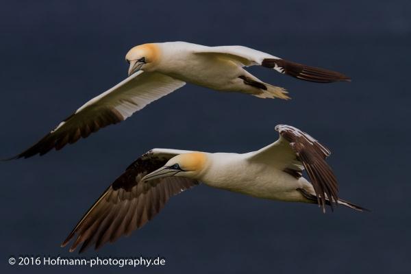 Gannets by drbird