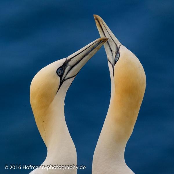 Love - Gannets by drbird