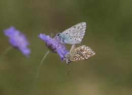 Mating Chalk Hill Blue Butterflies
