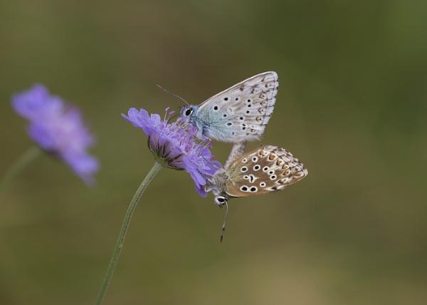 Mating Chalk Hill Blue Butterflies by Ebythesea