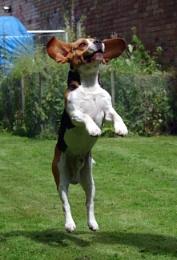 Jumping beagle