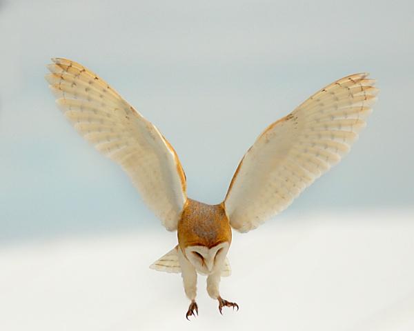 Barn Owl--Tyto alba. by bobpaige1