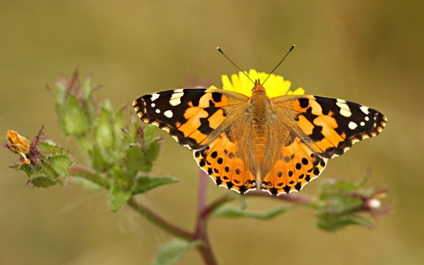 Painted Lady--Vanessa cardui. by bobpaige1