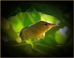 Cape Weaver. (Ploceus capensis)