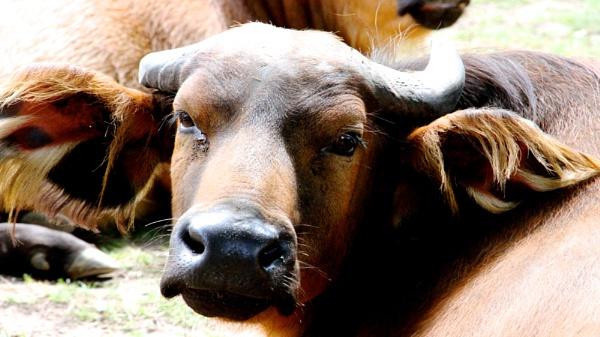 Water Buffalos need love to by geoffleckey