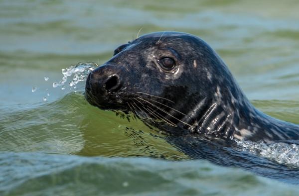 Grey Seal by jedw31