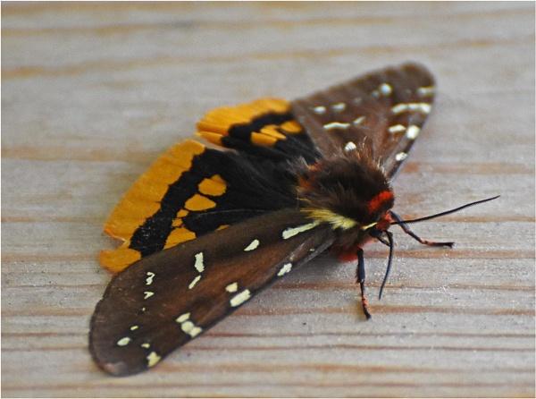 Moth ID by MalcolmM