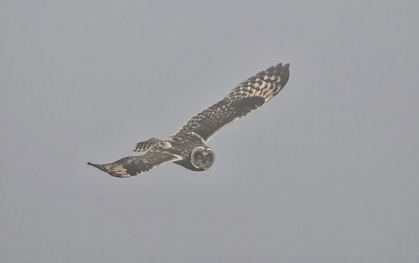 Short Eared Owl by ValSaxby