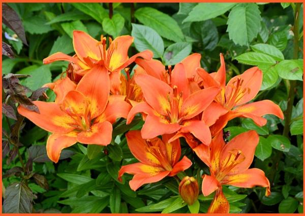Garden Lillies by Rock