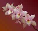 Cymbidium Orchid by pamelajean