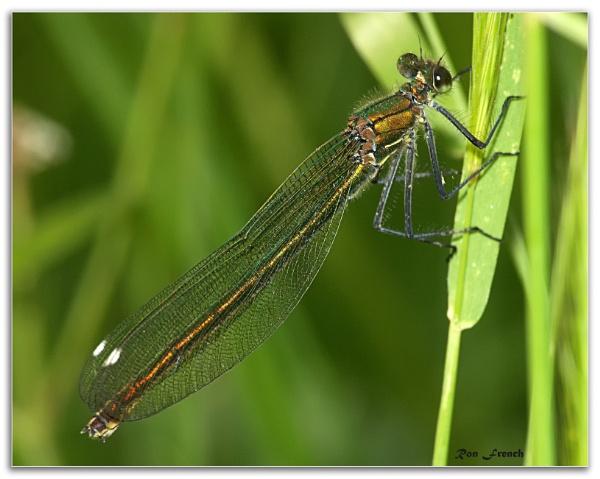Female damselfly by frenchie44