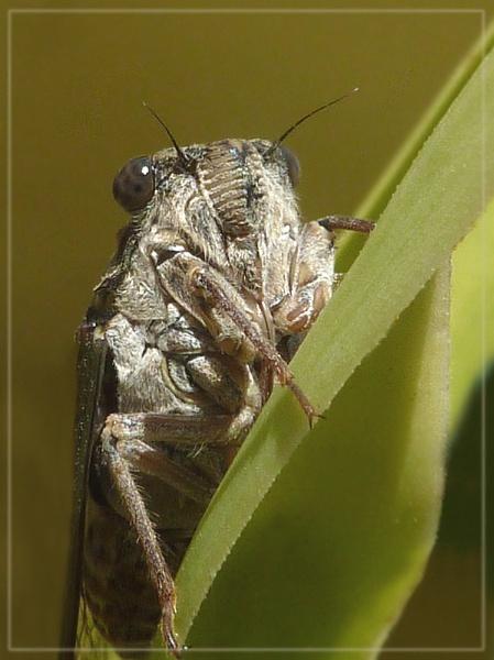 second cicada by CarolG