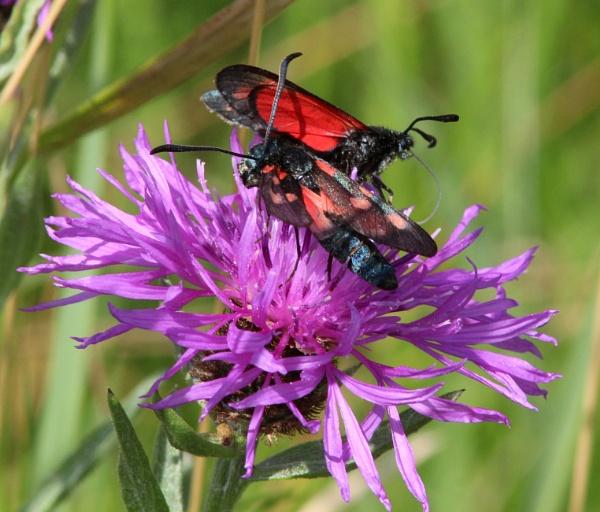 Burnet moths on knapweed by oldgreyheron