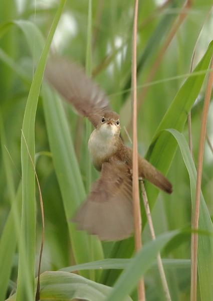 Reed Warbler in Flight by NeilSchofield