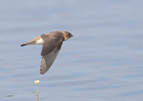 Housemartins in Flight by NeilSchofield