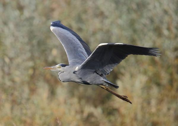 Herons in Flight by NeilSchofield