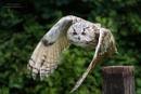 Siberian Eagle Owl by Miles Herbert
