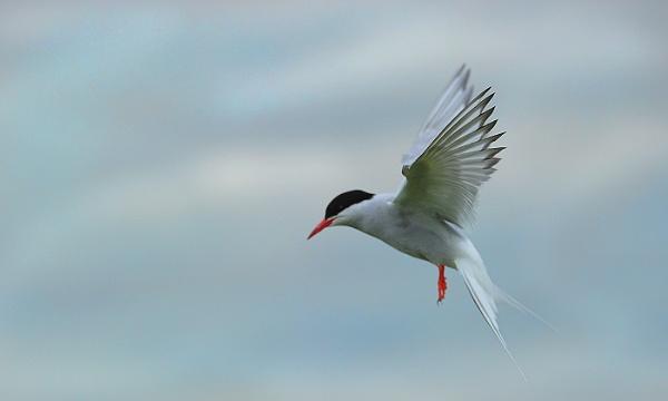 Artic Tern in Flight by ugly
