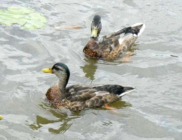Lucky Ducks by Marji
